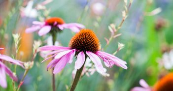 Echinacee fleur
