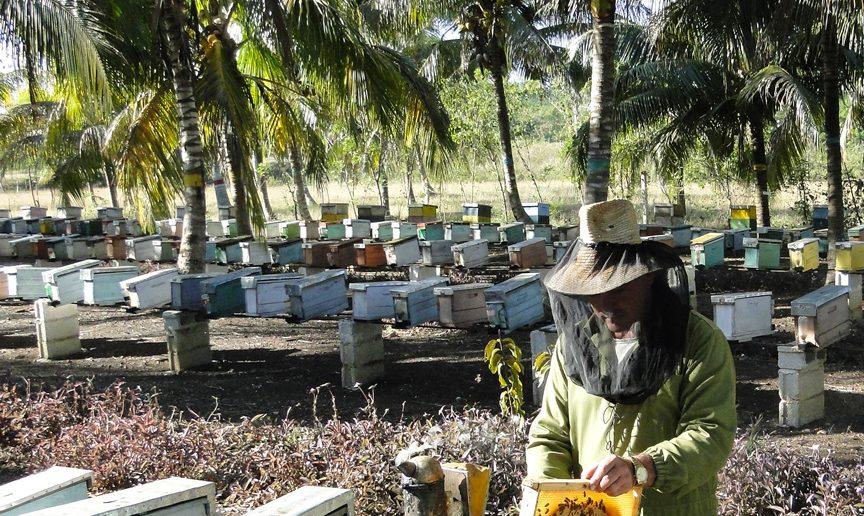 Production de miel de Cuba biologique