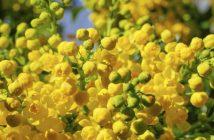 Fleur de Bach Houx ou Holly