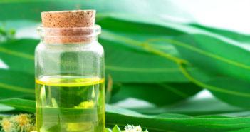 Eucalyptus citronné, l'huile essentielle anti-moustique et articulaire