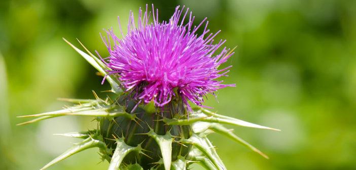Chardon Marie, la plante qui protège et régénère le foie