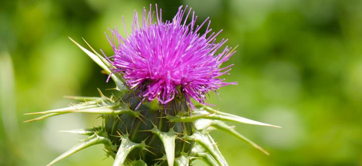 ¡Cardo mariano, la planta que protege y regenera eficazmente tu hígado!  - El Mag '