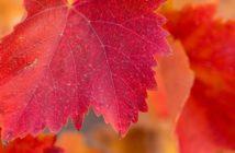 Vigne rouge, la plante incontournable de la circulation