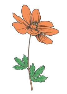 Fleur de tagète