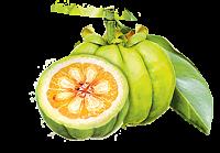 garcinia cambogia fruit brûle graisses